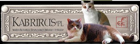 KABRIRUS*PL - hodowla kotów Brytyjskich bikolor i trikolor